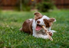 Brown border collie dog sitting on the ground royalty free stock photo