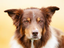 Brown border collie Royalty Free Stock Images