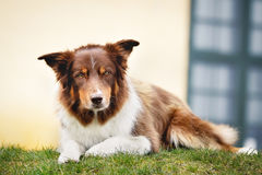 Brown border collie Stock Photography