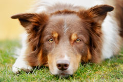 Brown border collie Royalty Free Stock Photos