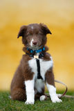 Brown border collie puppy Royalty Free Stock Image