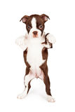 Brown Boston Terrier Puppy Dog Dancing Stock Images