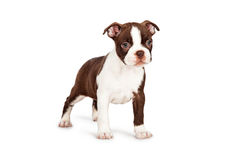 Brown Boston Terrier Puppy Standing to Side Stock Images
