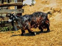 Brown, bouc noir et blanc avec la longs fourrure et klaxons photographie stock libre de droits