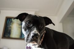 Beautiful dog indoors. A dark brown Boxador, mixed Labrador and Boxer, with a thin collar around the neck stock photos