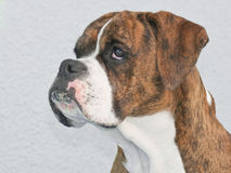 Brown Boxer Royalty Free Stock Photos