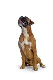 Brown boxer. Sitting and looking up Stock Image