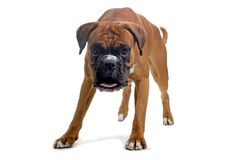 Brown boxer. Walking to camera Royalty Free Stock Photography