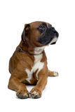 Brown boxer. Laying down and looking sidewards Royalty Free Stock Photography