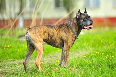 Brown  Boxer dog. A brown  Boxer dog outside Royalty Free Stock Photos