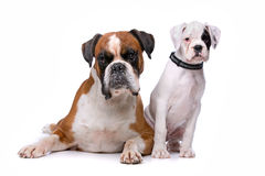 Brown boxer dog and a boxer puppy. In front of a white background Stock Photos