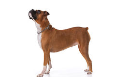 Brown boxer dog. Looking up Stock Images