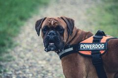 Brown Boxer Dog With Orange Black Powerdog Vest Stock Image