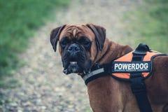 Brown Boxer Dog With Orange Black Powerdog Vest Stock Image