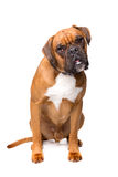 Brown boxer dog. Sitting in front of a white background Royalty Free Stock Photo