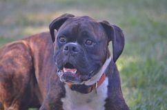 Brown boxer dog sitting on a lawn. Royalty Free Stock Photography