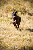 Brown boxer running. In the field Royalty Free Stock Photography