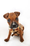Brown-Boxer-Welpe mit Vlies-Jacke Stockfotos