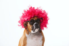 Brown boxer with a wig Stock Photography