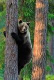 Brown-Bär steigt Baum Lizenzfreies Stockfoto