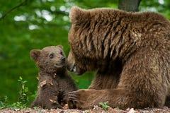 Brown-Bär und Junges Lizenzfreies Stockbild