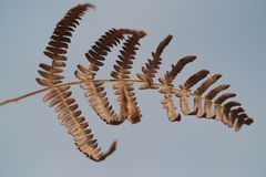Brown bracken. Close up of a dried bracken front stock photography