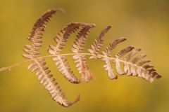 Brown bracken. Close up of a dried bracken front royalty free stock images