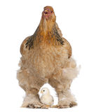 Brown Brahma Hen and her chick. In front of a white background stock image