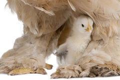 Brown Brahma Hen and her chick Royalty Free Stock Images