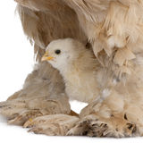 Brown Brahma Hen and her chick. In front of a white background royalty free stock photography