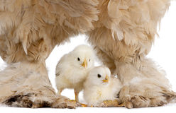 Brown Brahma Hen and her chick Royalty Free Stock Image