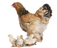 Brown Brahma Hen and her chicks. In front of a white background stock image