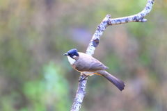 Brown-breasted Bulbul Royalty Free Stock Photography