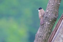 Brown-breasted Bulbul. A Brown-breasted Bulbul stands on trunk. Scientific name: Pycnonotus xanthorrhous Stock Photos