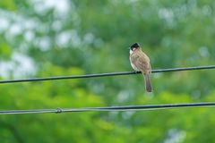 Brown-breasted Bulbul Royalty Free Stock Images