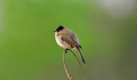 A Brown-breasted bulbul Stock Photos