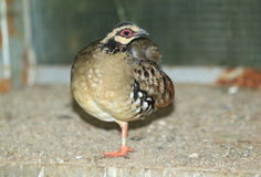 Brown-breasted hill partridge Royalty Free Stock Image