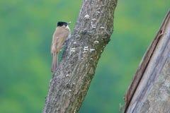 Brown--breastedbulbul Lizenzfreies Stockbild