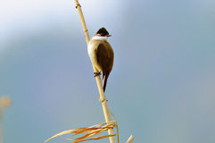 Brown--breastedbulbul Lizenzfreies Stockbild