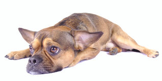 Brown breed mix Stock Image