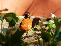 Robin bird in garden low angle view. In a garden with flowers this little bird stands with the flowers pretty unusual setting camouflage nature Stock Photography
