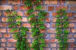 Natural brick wall with climbing plants Stock Photography