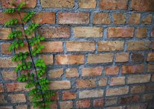 Natural brick wall with climbing plants Stock Images