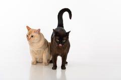 Brown brilhante e gatos burmese pretos Isolado no fundo branco Imagens de Stock Royalty Free