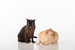 Brown brilhante e gatos burmese pretos Isolado no fundo branco Fotografia de Stock Royalty Free