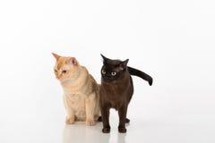 Brown brilhante e gatos burmese pretos Isolado no fundo branco Fotos de Stock Royalty Free