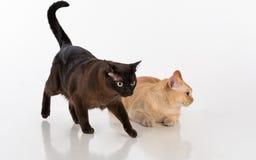 Brown brillante y gatos birmanos negros Aislado en el fondo blanco Fotografía de archivo
