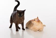 Brown brillante y gatos birmanos negros Aislado en el fondo blanco Fotografía de archivo libre de regalías