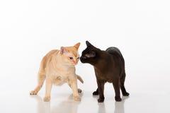 Brown brillante y gatos birmanos negros En el fondo blanco Imagenes de archivo