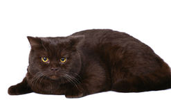 Brown british cat on a white background. Stock Images